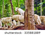 Pack Of Gray Wolves  Canis...