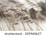 pampas grass swaying in wind | Shutterstock . vector #335960627