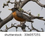 A Beautiful American Robin...