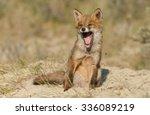 Yawning Red Fox Cub