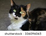 Big Tricolor Lady Cat In The...