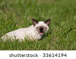 Siamese Cat On Grass