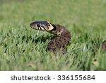Grass Snake coiled in vibrant green grass/Grass Snake/Grass Snake
