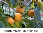 Persimmon Tree With Fruit In...
