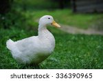 A White Duck On The Green Gras...