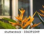 yellow bird of paradise flowers ...   Shutterstock . vector #336391049