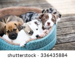 Stock photo litter of terrier mix puppies playing in dog bed outside on wooden deck 336435884