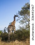giraffe in kruger national park ... | Shutterstock . vector #336441467