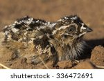Small photo of Juvenile Sandgrouse