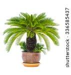 Palm Tree Cycas Revoluta In...