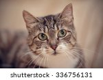 gray striped domestic cat with... | Shutterstock . vector #336756131