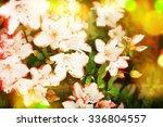 Azalea Blooming
