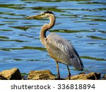 Great Blue Heron Standing By A...