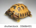 Chickened out tortoise right view - stock photo
