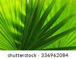 Palm  Leaves  Livistona...