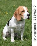 beagle puppy dog | Shutterstock . vector #33696340