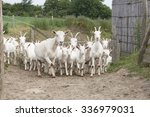 A Herd Of Young White Goat...