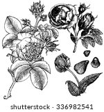 graphic image roses and rosebuds | Shutterstock .eps vector #336982541