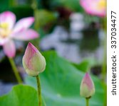 beautiful lotus flower | Shutterstock . vector #337034477