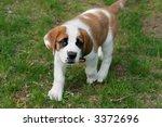 adorable st. bernard puppy | Shutterstock . vector #3372696