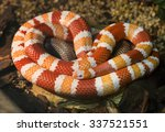Honduran milk snake The color is very bright, the pattern consists of alternating bands of red, black, light yellow or white. Its range extends from Canada to South America.