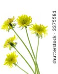 flowering dandelions isolated... | Shutterstock . vector #3375581