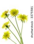 flowering dandelions isolated... | Shutterstock . vector #3375581