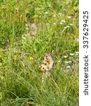 Small photo of Columbian Ground Squirrel (Urocitellus columbianus) stands in a meadow mouth agape. Glacier National Park, Montana.