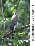 Small photo of Crested Goshawk - Accipiter trivirgatus