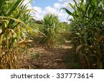 Corn Maze Fork In The Path