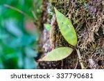 Small photo of Aeschynanthus Hildebrandii, wild flowers in forest, Thailand