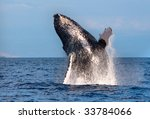 humpback whale breaching out of ... | Shutterstock . vector #33784066