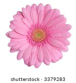 pink gerbera head isolated on a ... | Shutterstock . vector #3379283