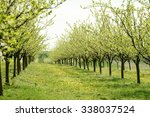 Line Of Plum Trees In Beautifu...
