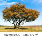 Small photo of Tree called serviceberry, Amelanchier lamarckii, in autumn on the West Heath in Gooi district, Netherlands