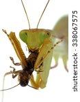 african mantis  sphodromantis... | Shutterstock . vector #338067575