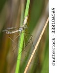 Small photo of long-jawed orb weaver with prey
