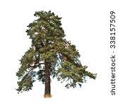 Big Old Pine Tree Isolated On...