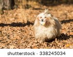 havanese dog in action  puppy ... | Shutterstock . vector #338245034