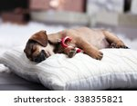 Cute Puppy Sleeping On Pillow...