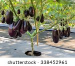 Small photo of Purple eggplant plantation in the garden with plastic film placed over the ground
