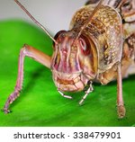 Migratory Locust On A Green...