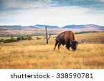 Bison Buffalo Grazing In The...