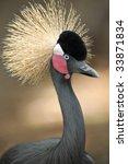 West African Grey Crowned Crane ...