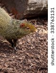 Small photo of Common agouti in a zoo.
