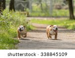 Two Happy Puppies Of Bulldog...