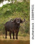 Small photo of African buffalo, syncerus caffer