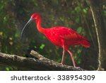 Scarlet Ibis Or Eudocimus Rube...