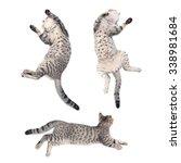 Stock photo action of scottish straight kitten sleeping on white background 338981684