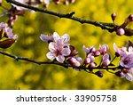 Blossom of Wild Plum Tree